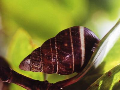 Partulina ustulata, West Maui