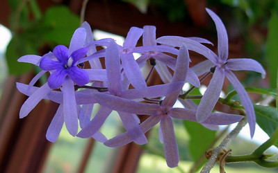 Petrea volubilis (Verbenaceae)  Sandpaper vine, queen's wreath -photographer: Randy Bartlett-date: 02 June 2009-location: Kapalua Adventure Center (Maui, Hawaii, USA)-notes (e.g., cultivated?): landscaping-copyright: copyright (c) 2009 by Randy Bartlett; contact rbartlett@mlpmaui.com for permission to re-use