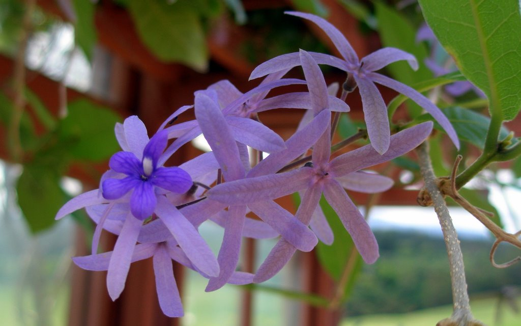 Sandpaper vine, Queen's wreath - Petrea volubilis (Verbenaceae) -photographer: Randy Bartlett-date: 02 June 2009-location: Kapalua Adventure Center (Maui, Hawaii, USA)-notes (e.g., cultivated?): landscaping-copyright: copyright (c) 2009 by Randy Bartlett; contact rbartlett@mlpmaui.com for permission to re-use