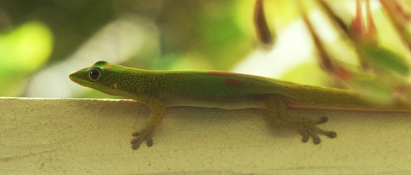 Phelsuma laticauda (Kihei, Maui, Hawaii), 02 December 2009 (photoID: PT_20011202_004423) Copyright © 2009 by Philip A. Thomas.  Contact imagesbypt@philipt.com for permission to use.