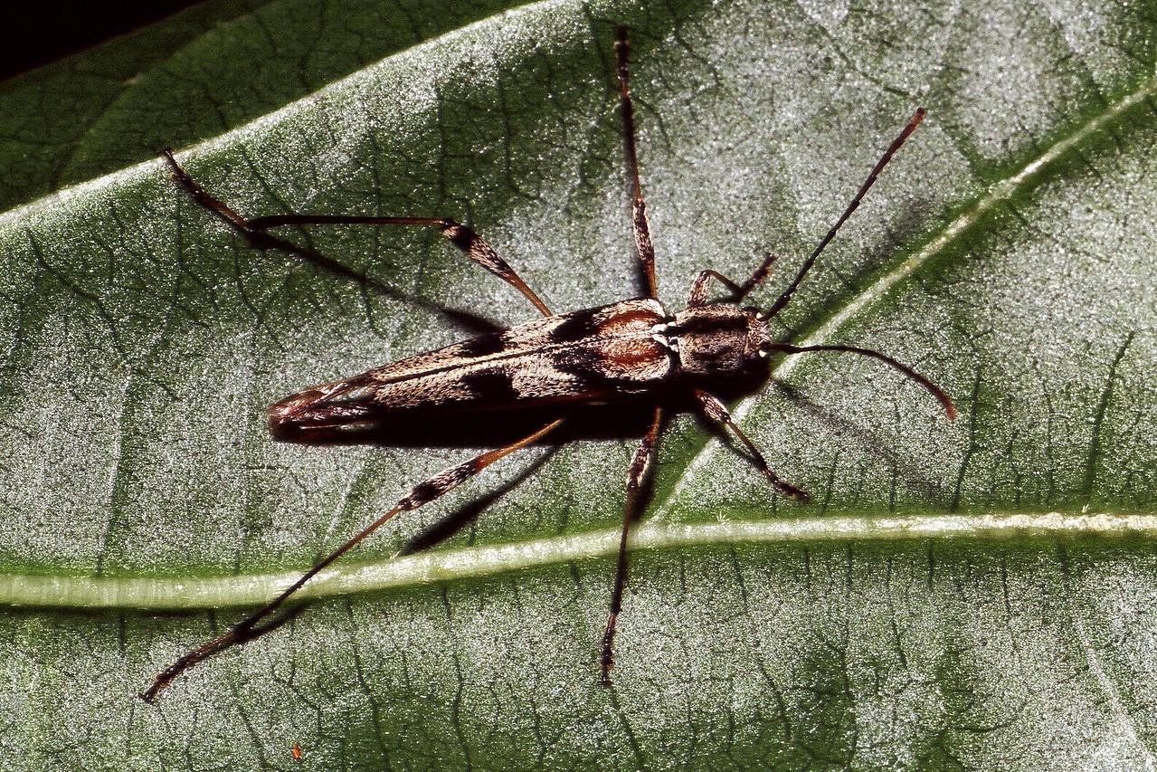 Plagithmysus pennatus, East Maui