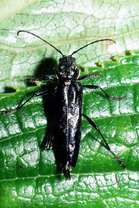 Plagithmysus sp., West Maui