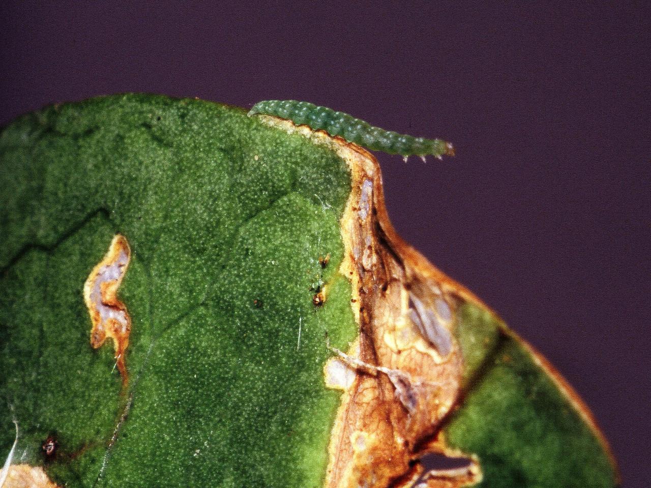 Plutella sp. (Lepidoptera: Plutellidae) on Capparis sandwichiana, East Maui