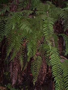 Pneumatopteris pendens (West Maui)