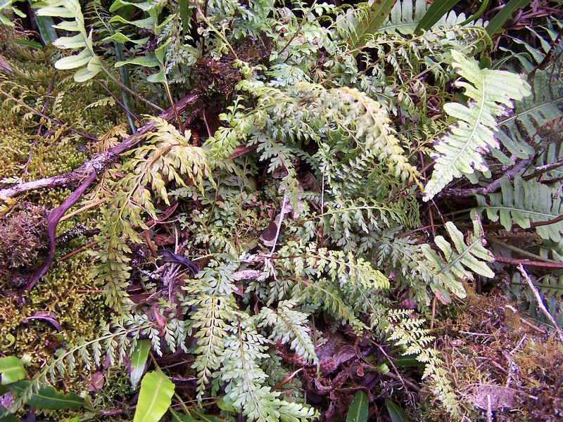 "Asplenium haleakalense (with Polypodium pellucidum and Elaphoglossum wawrae) (Maui) (HLO000379) This image is licensed under the Creative Commons Attribution-NonCommercial 3.0 Unported license.  You may share and adapt this work, but only with attribution (""by Hank L. Oppenheimer"") and only for non-commercial purposes unless permission is obtained from the copyright-holder (contact webmaster@hear.org)."