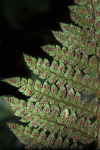 "Polystichum hillebrandii This image is licensed under the Creative Commons Attribution-NonCommercial 3.0 Unported license.  You may share and adapt this work, but only with attribution (""by Hank L. Oppenheimer"") and only for non-commercial purposes unless permission is obtained from the copyright-holder (contact webmaster@hear.org)."