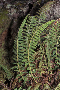 "Polystichum haleakalense (East Maui) This image is licensed under the Creative Commons Attribution-NonCommercial 3.0 Unported license.  You may share and adapt this work, but only with attribution (""by Hank L. Oppenheimer"") and only for non-commercial purposes unless permission is obtained from the copyright-holder (contact webmaster@hear.org)."