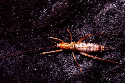 Prognathogryllus sp. (Orthoptera: Gryllidae), West Maui