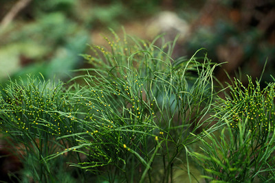 "Psilotum nudum This image is licensed under the Creative Commons Attribution-NonCommercial 3.0 Unported license.  You may share and adapt this work, but only with attribution (""by Hank L. Oppenheimer"") and only for non-commercial purposes unless permission is obtained from the copyright-holder (contact webmaster@hear.org)."