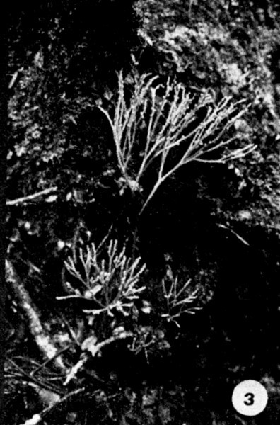 03. Psilotum nudum Image from the Kaala Bog Plant Guide: Kaala Natural Area Reserve, Mt. Kaala, Oahu, a 1992 publication of the State of Hawaii (DLNR/DOFAW) .