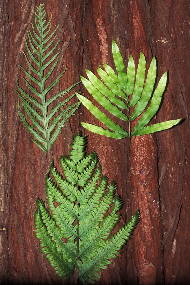 "Pteris ferns: Pteris irregularis (upper left), Pteris excelsa (lower middle), Pteris cretica (upper right) This image is licensed under the Creative Commons Attribution-NonCommercial 3.0 Unported license.  You may share and adapt this work, but only with attribution (""by Hank L. Oppenheimer"") and only for non-commercial purposes unless permission is obtained from the copyright-holder (contact webmaster@hear.org)."