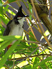 image of Pycnonotus jocosus