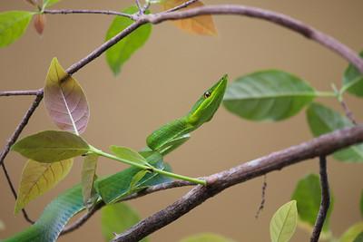 Green Vine Snake (Oxybelis fulgidus)
