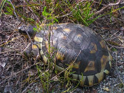 Angulate Tortoise (Chersina angulata)