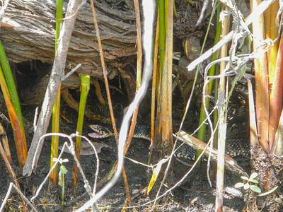 Banded Water Snake (Nerodia fasciata)