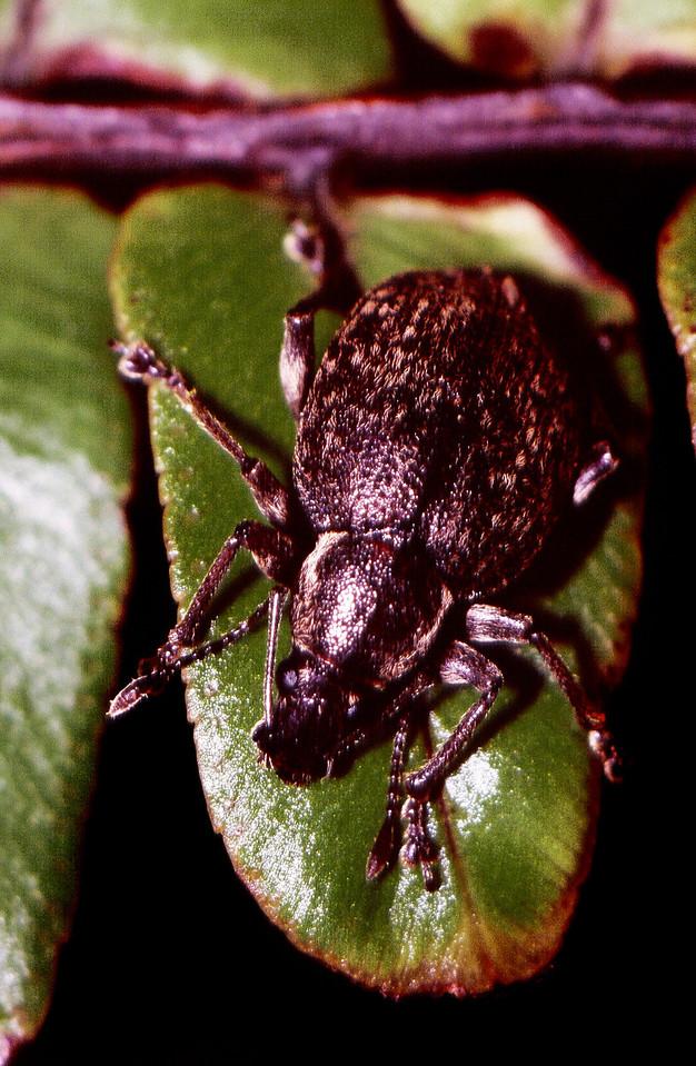 Rhynchogonus sp., West Maui