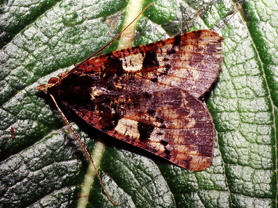 Scotorythra pachyspila (Geometridae), West Maui
