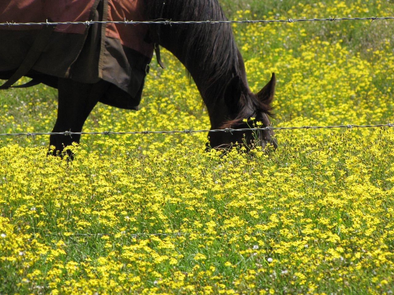 Horse in fireweed (Senecio madagascarienis) - Haiku (Maui, Hawaii)PhotoID=starr-100330-4011.jpgPhoto by Forest and Kim Starr.  If you'd like to use this image, please see their image use policy.More images of this species by these photographers can be found here: search for more Starr images of this species on HEAR.org