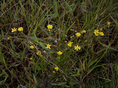Senecio madagascariensis, West Maui (Hawaii)PhotoID=PT20100814_020885Copyright © 2010 by Philip A. Thomas.  Contact imagesbypt@philipt.com for permission to use.More images of this species by this photographer may be found here: search for more images of this species by PT