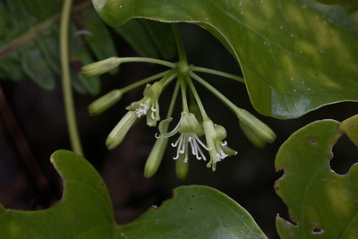 Smilax melastomifolia (flowers), West Maui (01 Feb. 2011)