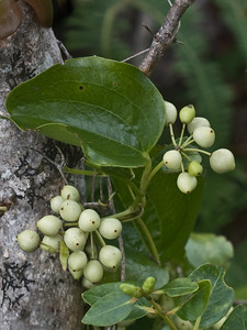 Smilax melastomifolia (fruits), West Maui (01 Feb. 2011)
