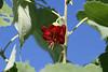 <i>Abutilonmenziesii</i> (flower)