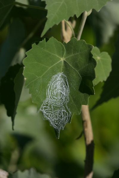 "Pattern of oviposition by the spiraling whitefly (<i>Aleurodicus dispersus</i>) on a leaf of <i>Abutilon menziesii</i>.  (Insect determined [via photo] by <a href=""http://www.plant-doctor.net/"">Dr. Scot Nelson</a>.)"