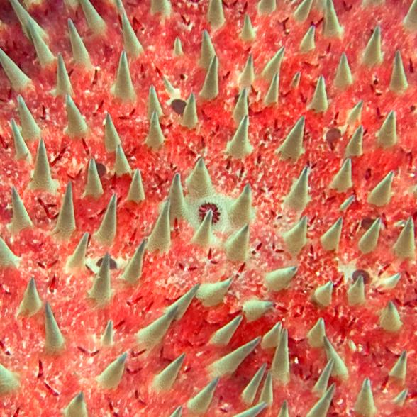 "Crown-of-thorns ""starfish"" (<i>Acanthaster planci</i>) (Maui, Hawaii) copyright(©)2007 byPhilipA.Thomas"