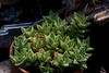 Aloe squarrosa<br /> (Mahalo to Fern D. for ID! [...and for the start of the plant!])<br /> (PhotoID:PT20120429_009702)