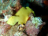 <i>Antennarius commerson</i> (frogfish) - juvenile