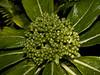 <i>Broussaisia arguta</i> is a native plant related to the hydrangea.