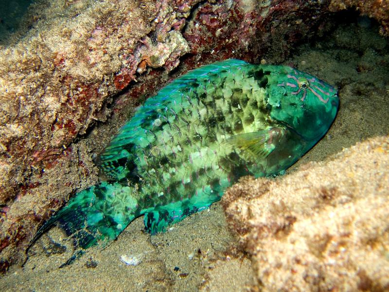 Calotomus carolinus (star-eye parrotfish) 20070811_1886