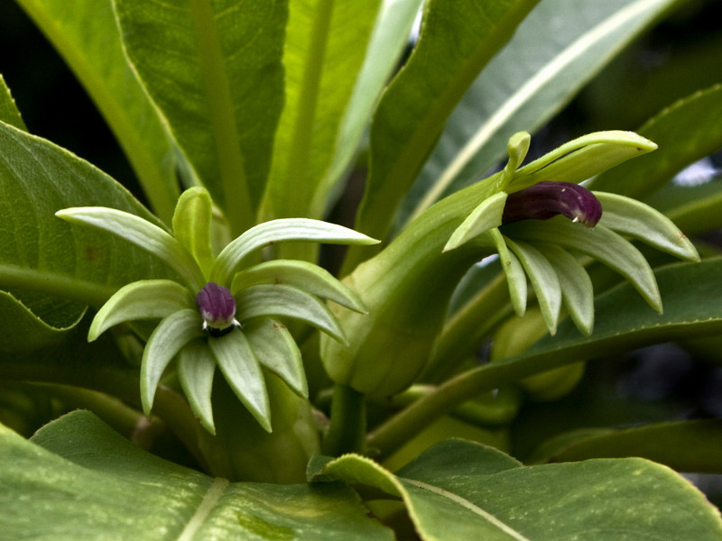 Clermontia kakeana (per HLO) on West Maui<br /> PhotoID:PT20100814_021017a