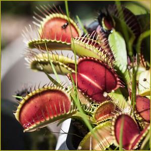 Carnivorous plants of North Carolina