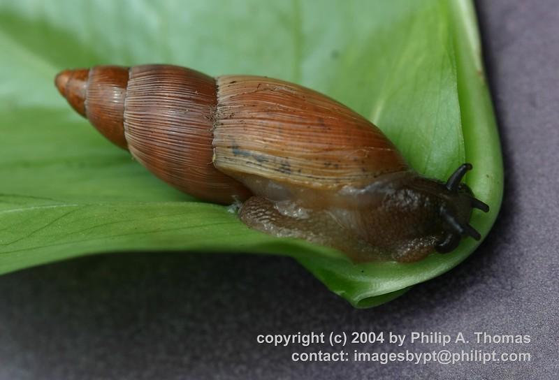 Euglandina rosea - 20040613_cdr_img_0281_crop1