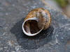 <i>Helix aspersa</i> (European brown snail); Kula, Maui, Hawaii 14 July 2008 (ID: 20080714_000423)
