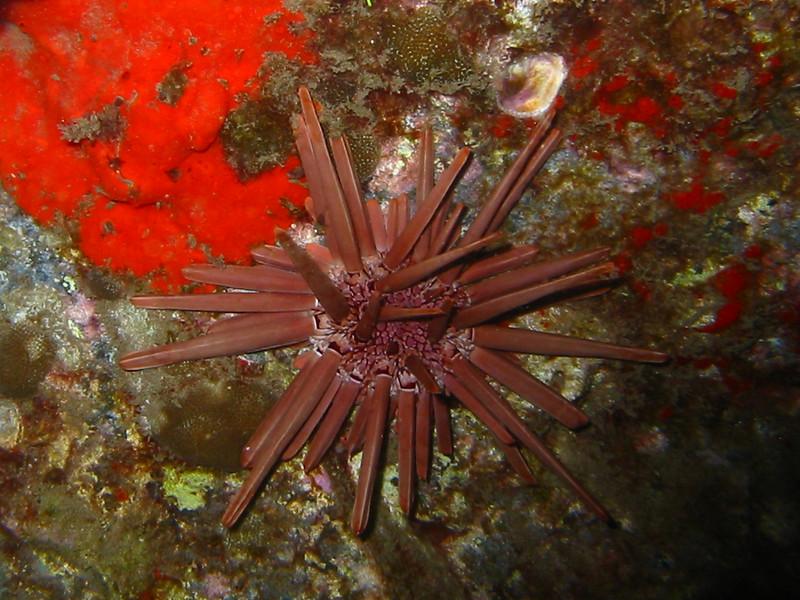 heterocentrotus_mammillatus_20030222_210-1073