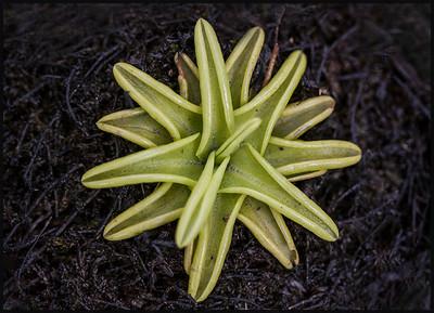 Butterworts (Pinguicula)