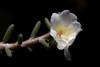 <i>Portulaca villosa</i> - cultivated - white color variant  PhotoID:20120418-002119