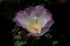 <i>Portulaca villosa</i> - cultivated  PhotoID:20120418-002125