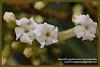 <i>Rauvolfia sandwicensis</i> (Apocynaceae) at Kealia Pond National Wildlife Refuge (23March2013)