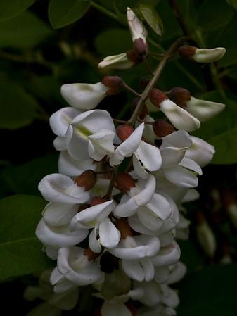 Robinia pseudoacacia (Fabaceae)