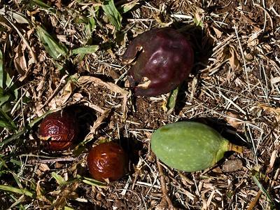 Sapindus oahuensis