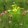 Sarracenia flava (pitchers) and Sarracenia purpurea (blooms), eastern North Carolina, June 2016