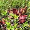 Sarracenia purpurea subsp. venosa, eastern North Carolina, June 2016