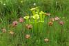Parents of Sarracenia x catesbaei: Sarracenia flava (pitchers) and Sarracenia purpurea (blooms), eastern North Carolina, June 2016