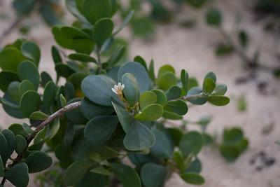 Scaevola coriacea (Goodeniaceae)