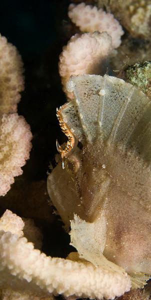 Taenianotus triacanthus