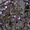 Utricularia purpurea, eastern North Carolina, June 2016