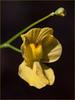 Utricularia sp., eastern North Carolina, June 2016